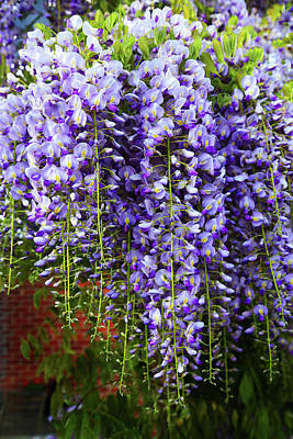 Photograph - Purple Wistaria by Nareeta Martin