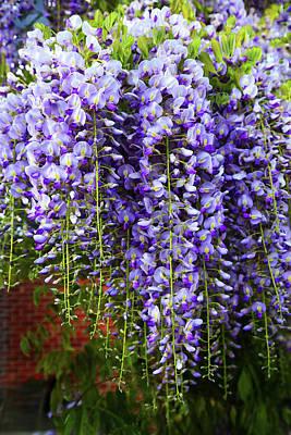 Photograph - Purple Wistaria by Nareeta Martin