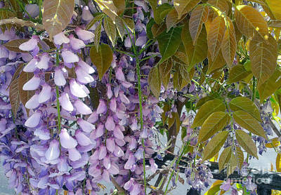 Photograph - Purple Wisteria And Afternoon Sun by Haleh Mahbod