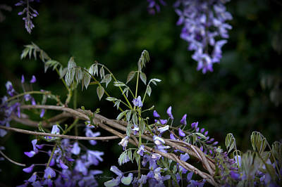 Photograph - Purple Wisteria Bow by Jeanette C Landstrom