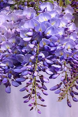 Photograph - Purple Wisteria Flowers by Gill Billington