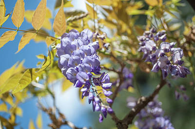 Photograph - Purple Wisteria Flowers by Jenny Rainbow