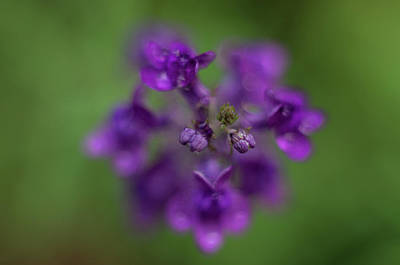 Photograph - Purple Perennial Flower by Marilyn Wilson
