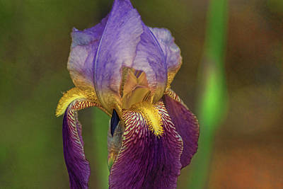 Photograph - Purplish Iris by Rick Friedle