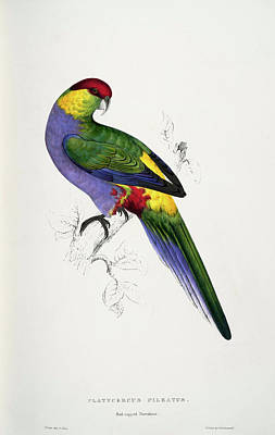Parakeet Mixed Media -  Purpureicephalus Spurius-platycercus Pileatus Red-capped Parrakeet-male by Edward Lear