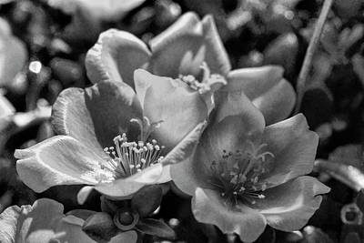 Photograph - Purslane In Black And White  by Kathy Clark