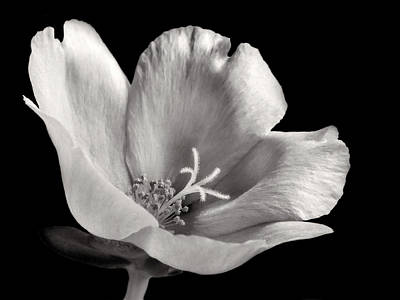 Photograph - Purslane In Monochrome by David and Carol Kelly