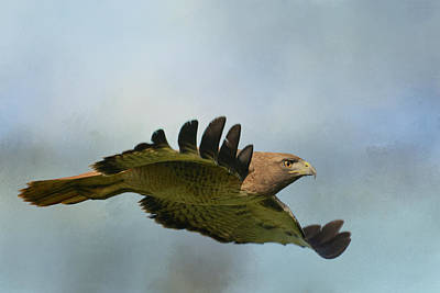 Red Tail Hawk Photograph - Pursuit 3 by Fraida Gutovich