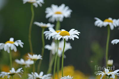 Photograph - Pushin Up Daisies by Maria Urso