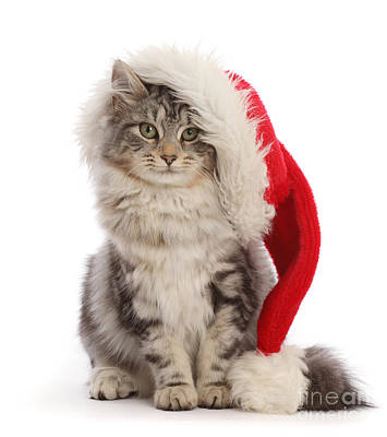 Photograph - Puss In Santa Hat by Warren Photographic