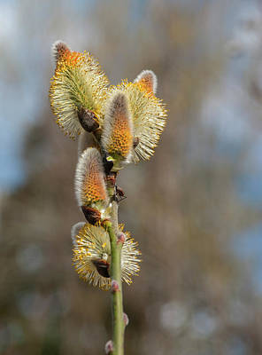 Photograph - Pussy Willow Catkins 1 by Rick Mosher