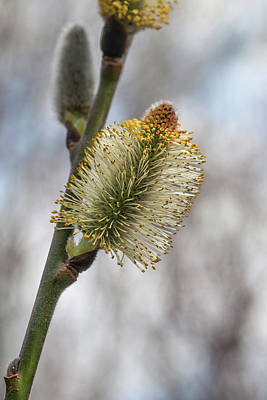 Pussy Willow Catkins 2 Art Print by Rick Mosher