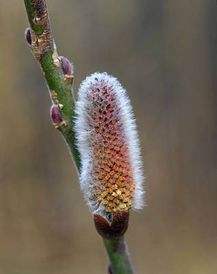Pussy Willow Catkins 3 Art Print by Rick Mosher