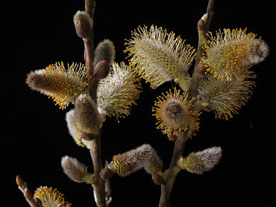 Photograph - Pussy Willow by Nancy Griswold