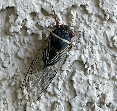 Photograph - Putnam's Cicada by Anne Rodkin