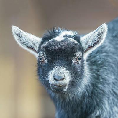 Photograph - Pygmy Goat Kid Headshot Portrait by William Bitman