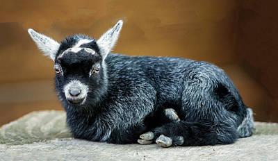 Photograph - Pygmy Goat Kid Portrait by William Bitman