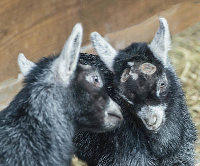 Photograph - Pygmy Goat Kid Siblings Butting Heads by William Bitman