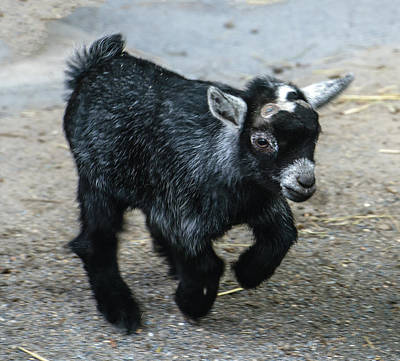Photograph - Pygmy Goat Kid by William Bitman