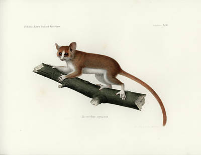 Drawing - Pygmy Mouse Lemur by Hugo Troschel