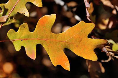 Photograph - Pygmy Oak I by Ron Cline