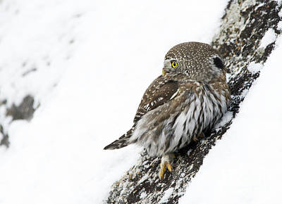 Photograph - Pygmy Owl by Deby Dixon
