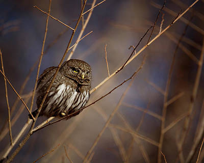 Photograph - Pygmy Owl by Erica Kinsella
