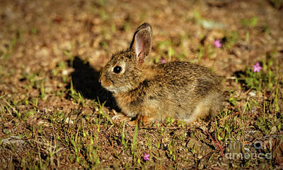 Photograph - Pygmy Rabbit by Robert Bales
