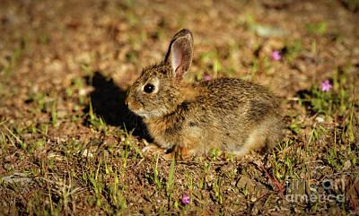 Photograph - Pygmy Rabbit by Robert Bales