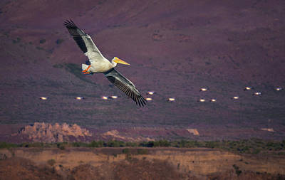 Photograph - Pyramid Lake Pelicans by Rick Mosher