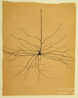 Nerve Cell Photograph - Pyramidal Cell In Cerebral Cortex, Cajal by Science Source