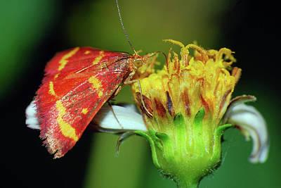 Photograph - Pyrausta Tyralis Moth by Larah McElroy