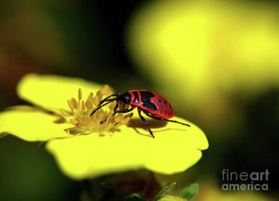 Photograph - Pyrrhocoris Apterus The Firebug by Michelle Meenawong