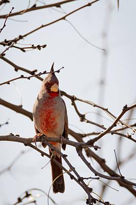 Photograph - Pyrrhuloxia Aka Desert Cardinal by Debra Martz