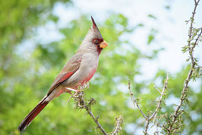 Photograph - Pyrrhuloxia At Falcon State Park Of Texas by Debra Martz