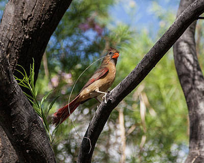 Photograph - Pyrrhuloxia At Work by Lon Dittrick