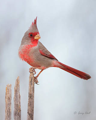 Photograph - Pyrrhuloxia by Gerry Sibell