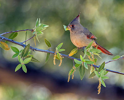 Photograph - $100 - 8x10 Metal - Pyrrhuloxia 2848-033016-1cr by Tam Ryan