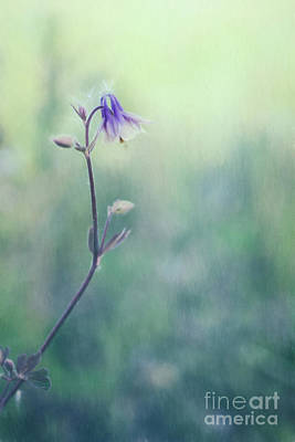 Columbine Photograph - Wild Columbine by Priska Wettstein