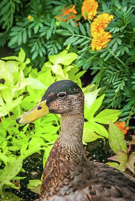 Photograph - Quack by Pamela Williams