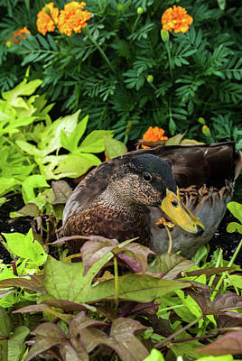 Photograph - Quackers by Pamela Williams