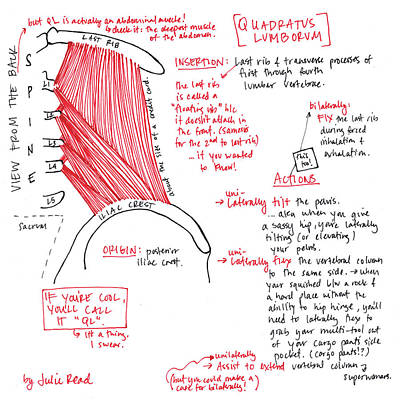 Drawing - Quadratus Lumborum by Julie Read