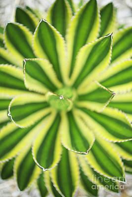 Quadricolor Agave Plant Art Print by Charmian Vistaunet