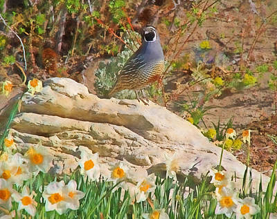 Quail And Daffies Art Print by Donna Kennedy