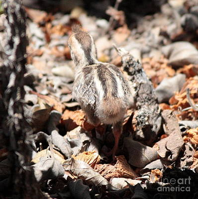 Photograph - Quail Chick On The Run by Carol Groenen
