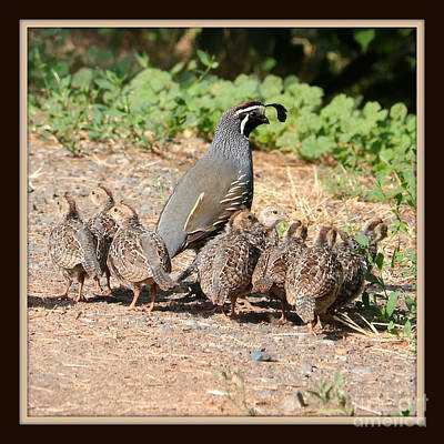 Photograph - Quail Family With Border by Carol Groenen