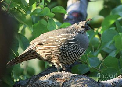Photograph - Quail In A Pear Tree by Carol Groenen