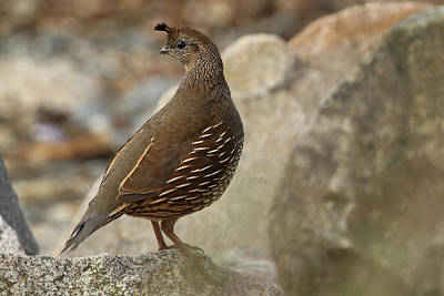 Photograph - Quail In The Rocks by Inge Riis McDonald