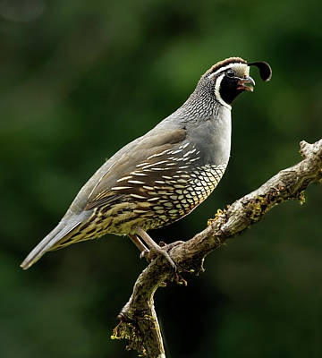 Photograph - Quail  by Inge Riis McDonald