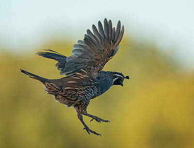 Photograph - Quail Jump by Loree Johnson